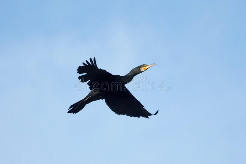 Download Great Cormorant,Phalacrocorax Carbo Royalty Free Stock Photos - Image: 17079048