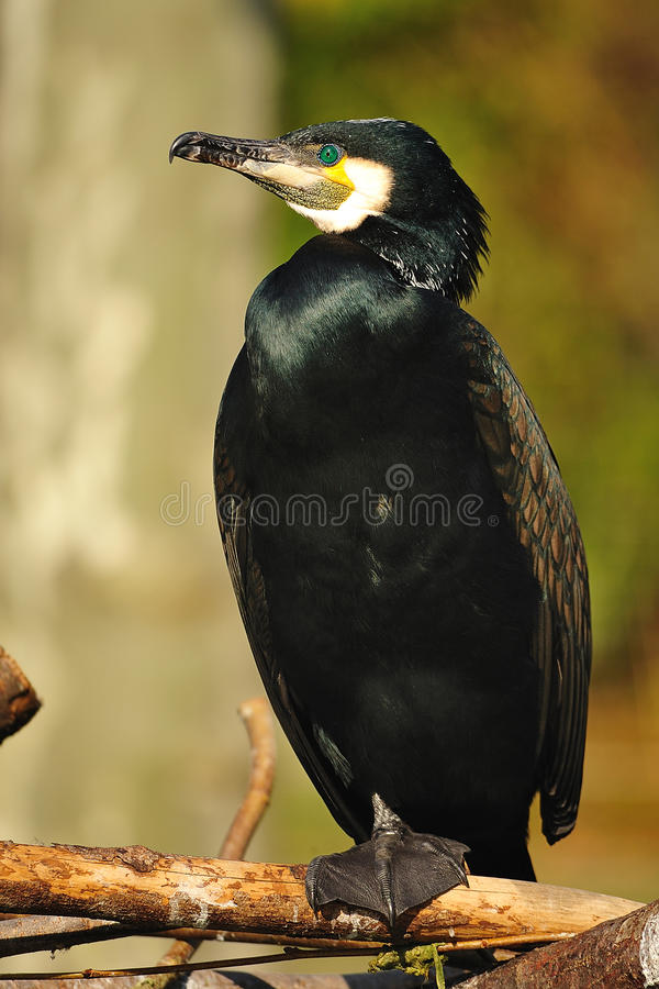 Great Cormorant (Phalacrocorax carbo) stock photos