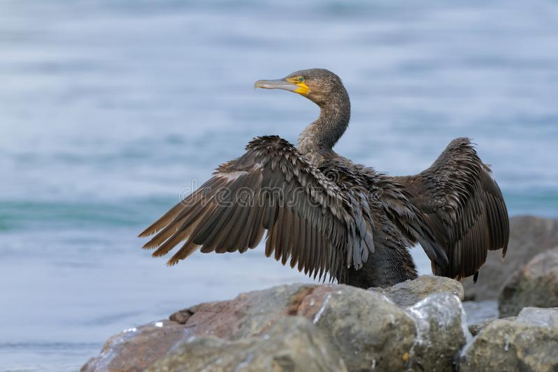 Great Cormorant - Phalacrocorax carbo big cormorant drying its plumage on the sun after diving for fish in Australia, Europe.  royalty free stock photography