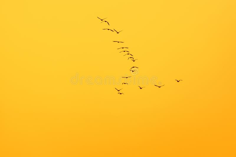 Great Cormorant Phalacrocorax carbo. In flight vector illustration