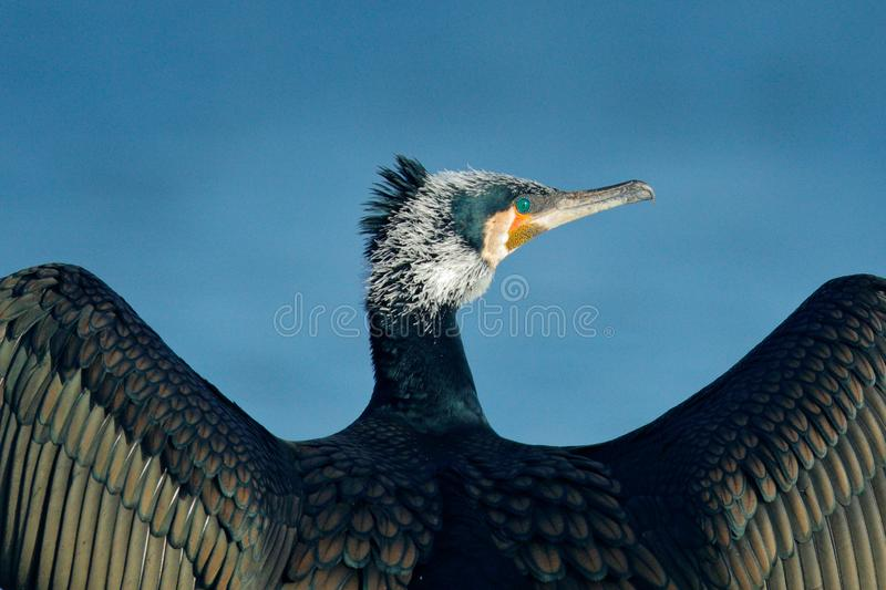 Great Cormorant, Phalacrocorax carbo, sitting in the blue water. Spring on the lake with beutiful bird. Wildlife scene from nature. Cormorant in the river royalty free stock photography