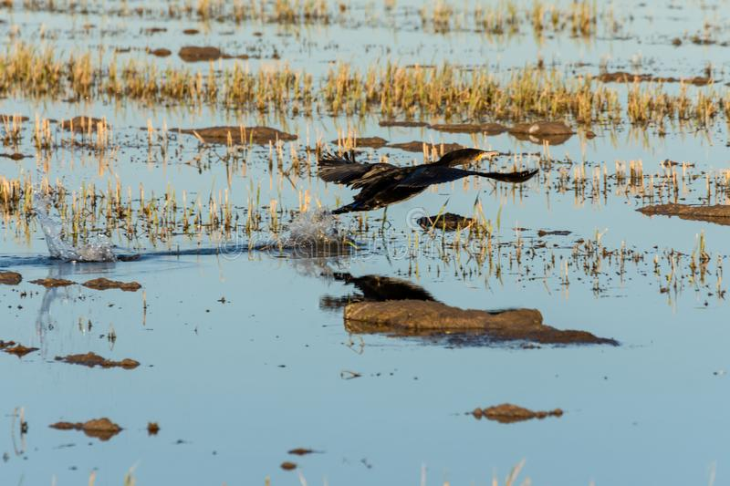 Great cormorant Phalacrocorax carbo taking off in a rice field in the natural park of Albufera, Valencia, Spain. nature. Reflection and background royalty free stock photography