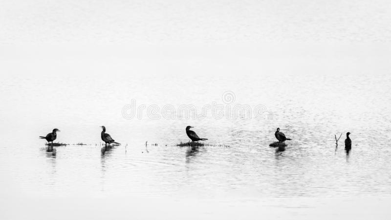 5 Great Cormorant sitting in a row royalty free stock photos