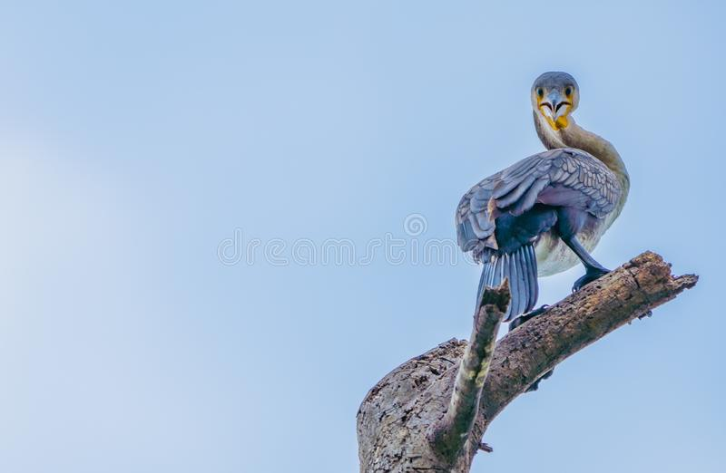 Great Cormorant Strikes Pose while perched on branch royalty free stock image