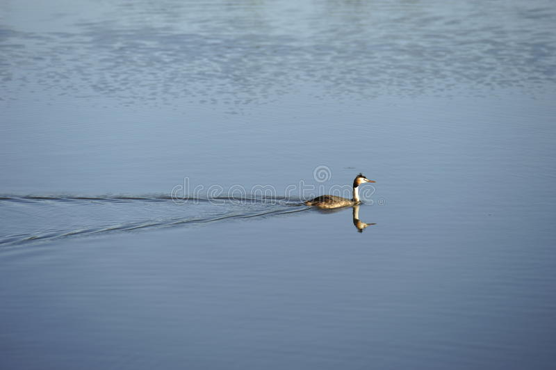 Download Great Crested Grebe stock photo. Image of swimming, crested - 25613782
