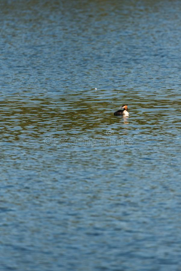 Great crested grebe in a lake royalty free stock images