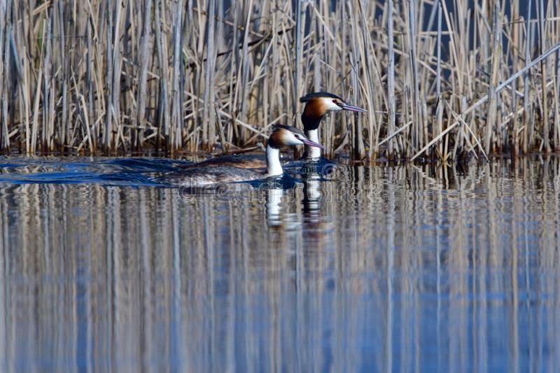 Great crested grebe pair royalty free stock photography