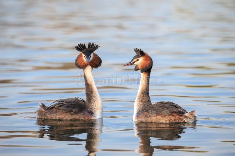 A Great crested grebe pair in a courtship dance stock photography