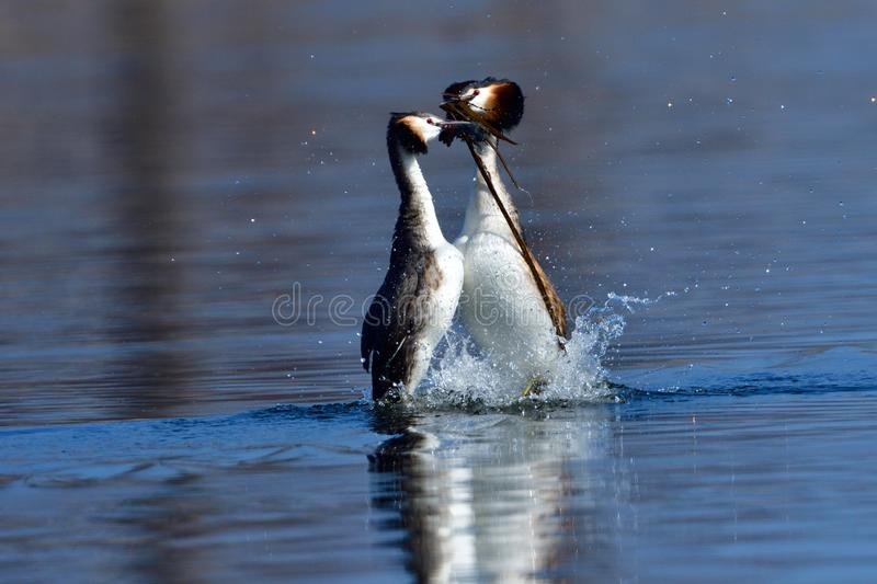 Great crested grebe pair stock image