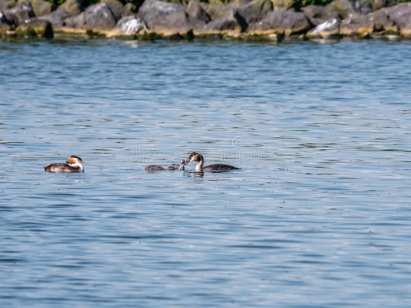 Great crested grebe, Podiceps cristatus, adult with fish for juveniles, Netherlands stock photography