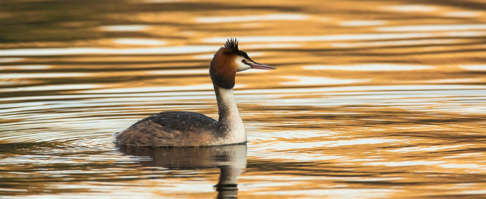 Great Crested Grebe (Podiceps cristatus) stock photography