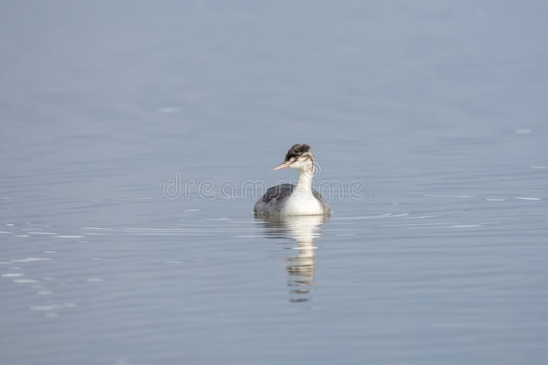 Great Crested Grebe Podiceps cristatus in the nature habitat. The Great Crested Grebe is a medium to large aquatic bird, and is the largest of the grebes royalty free stock image