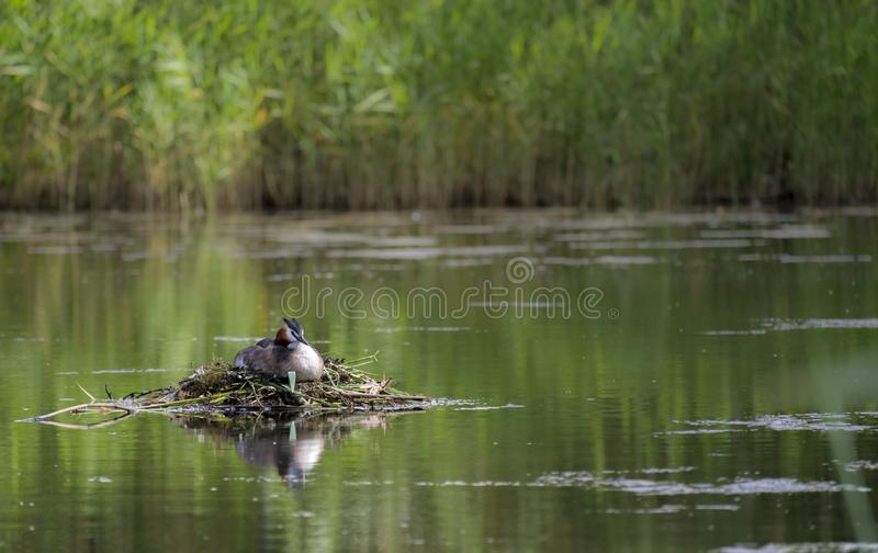 Great Crested Grebe, Podiceps cristatus, nest, Kalmar, Sweden. Great Crested Grebe, Podiceps cristatus, nest in a pond, Kalmar, Sweden royalty free stock images