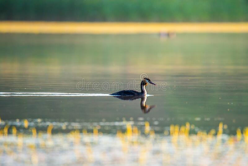 Great Crested Grebe wild lake bird stock images