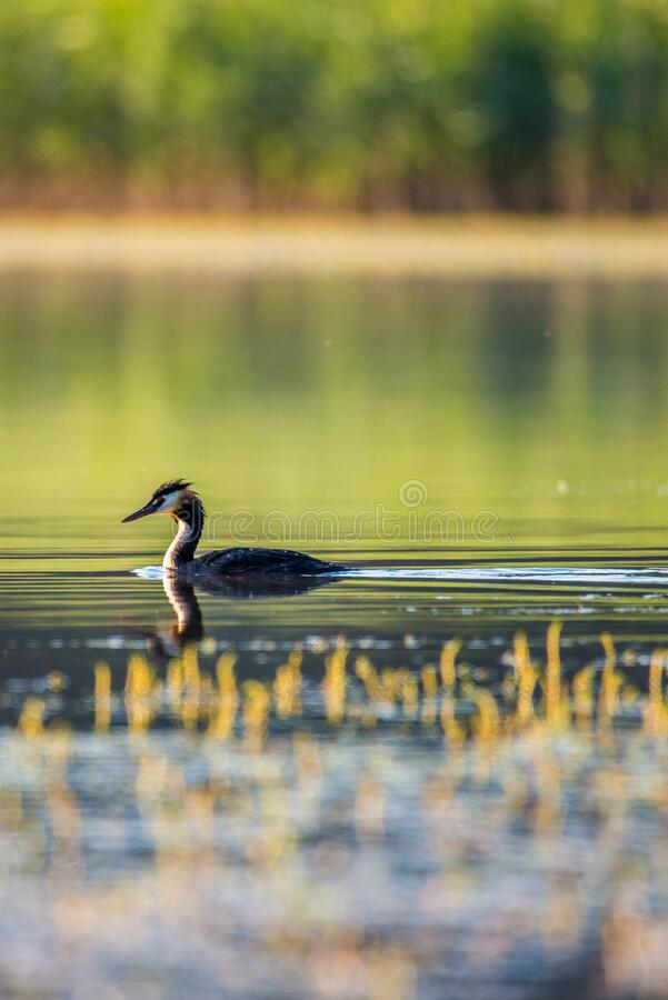 Great Crested Grebe wild lake bird royalty free stock images