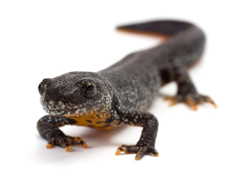 Great Crested Newt. Front view of a Great Crested Newt on a white background stock images