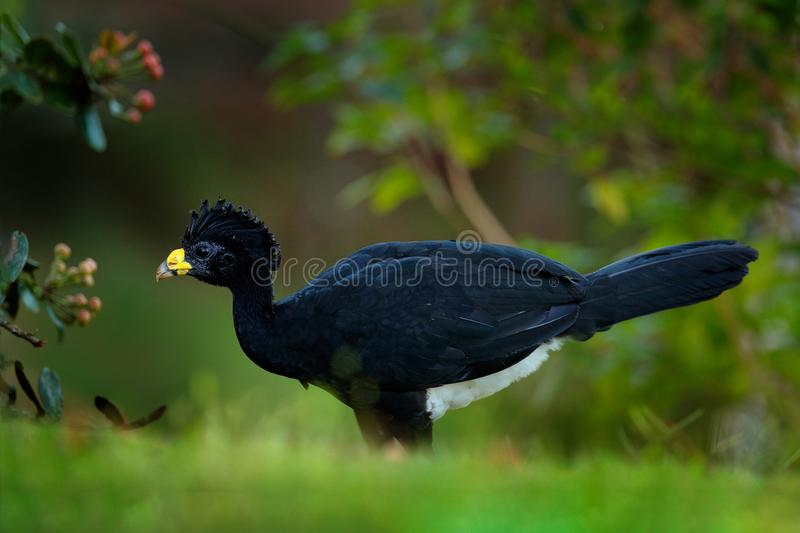 Great Curassow, Crax rubra, big black bird with yellow bill in the nature habitat, Costa Rica. Wildlife scene from tropic forest. Brown bird in green grass stock photography