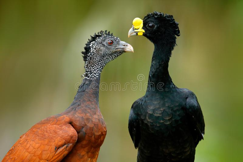 Great Curassow, Crax rubra, big black birds with yellow bill in the nature habitat, Costa Rica. Pair of birds, male and female. Wi. Ldlife scene from tropical royalty free stock photography