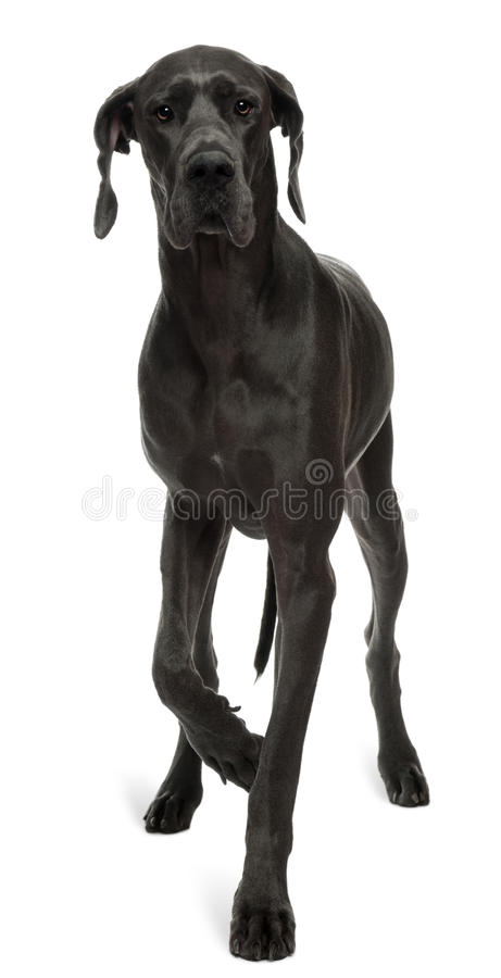 Great Dane, 15 months old, walking royalty free stock images