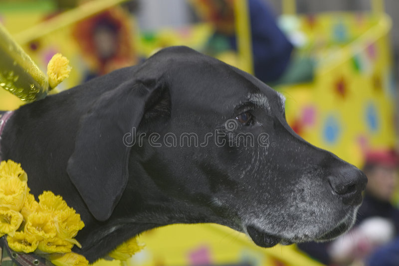 Download Great Dane Royalty Free Stock Image - Image: 91266
