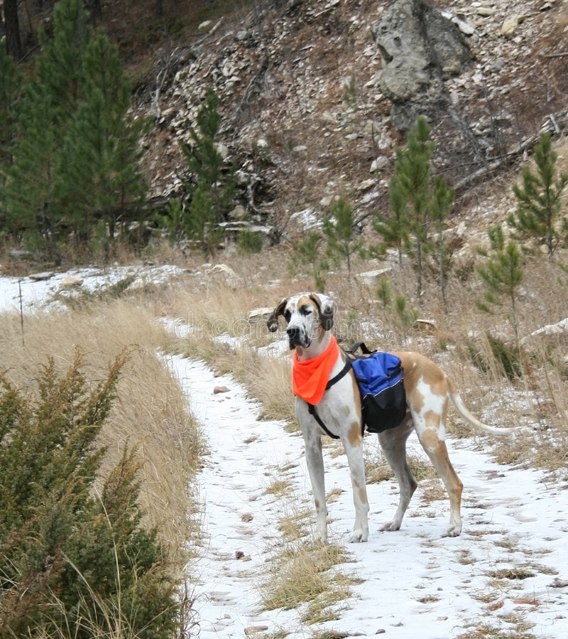 Great Dane with Backpack During Hunting Season. Fawnequin great dane with a backpack during hunting season on a snow-covered trail stock photo
