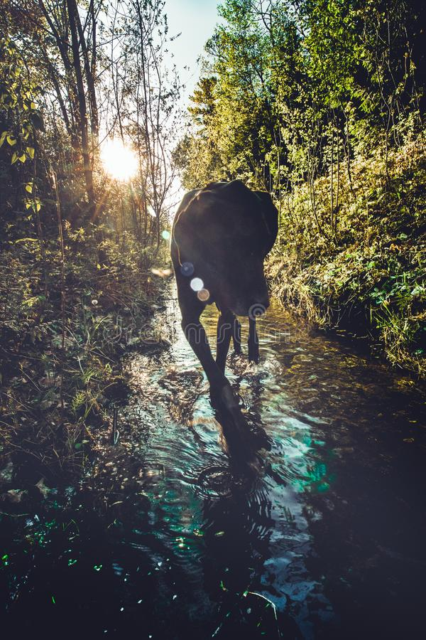 Great Dane in Boreal Forest royalty free stock photos