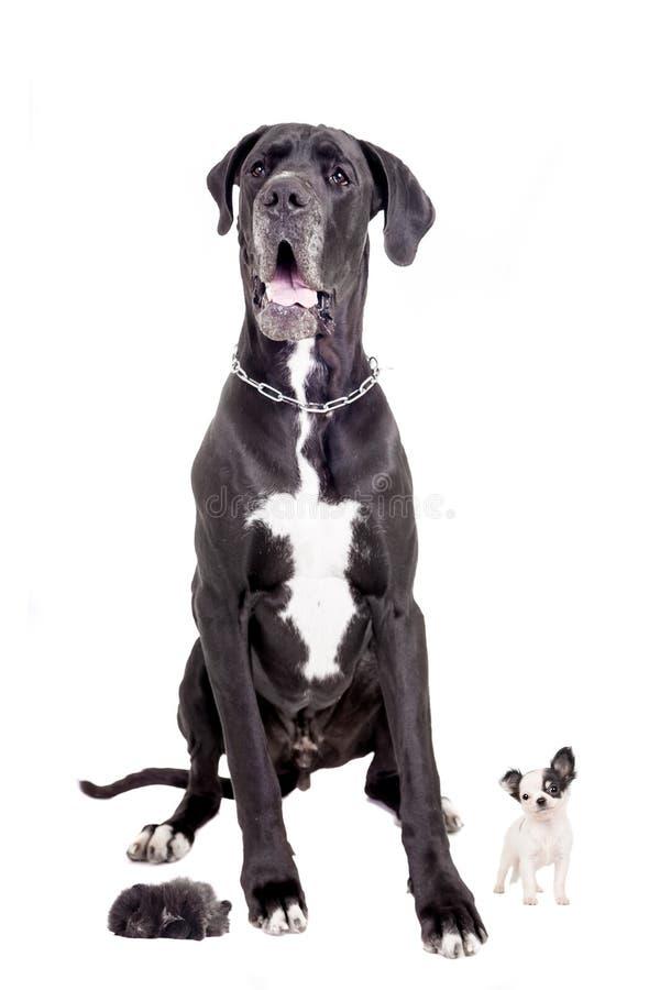 Great dane con i cuccioli fotografia stock