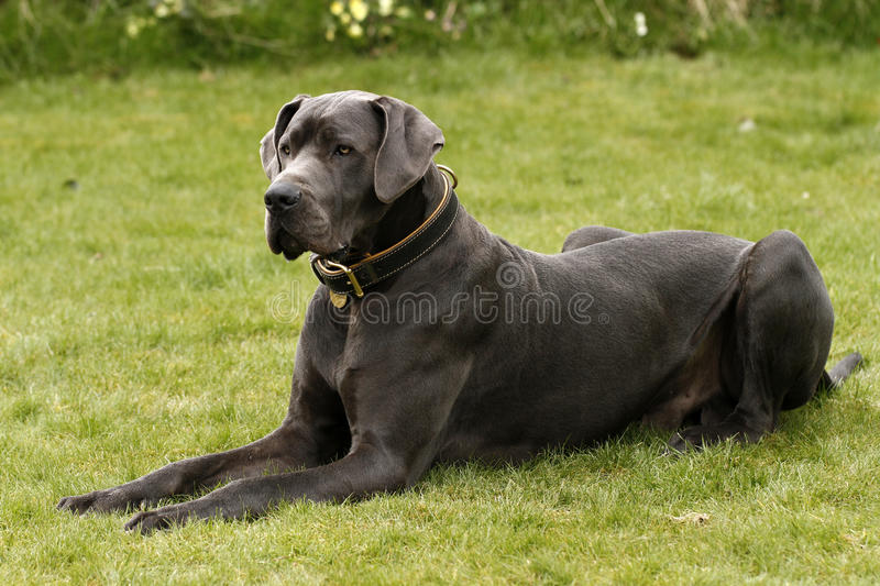 A Great Dane Dog stock images