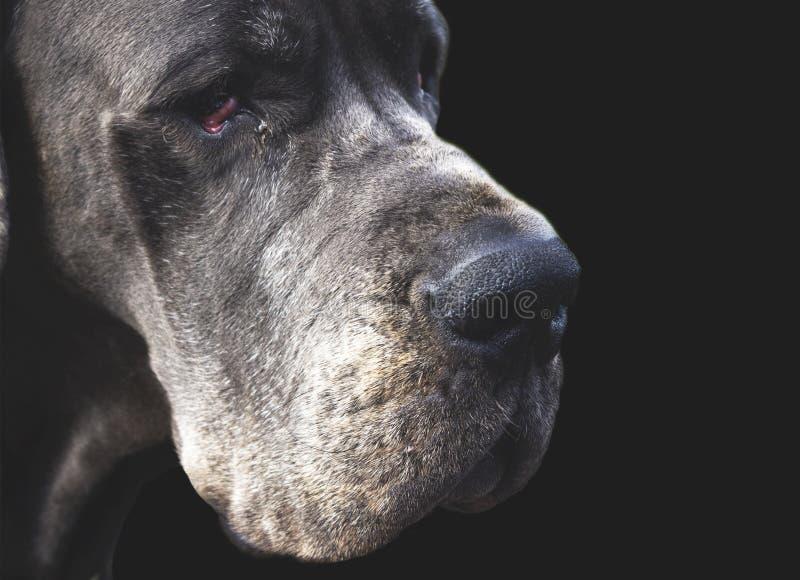 Dog head on black close up royalty free stock image