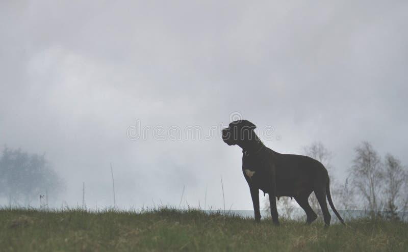 Dog on misty background. Great Dane dog on misty background