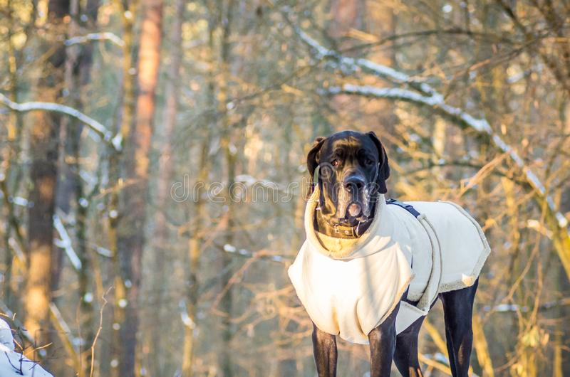 Great Dane dog in winter with clothes stock photo