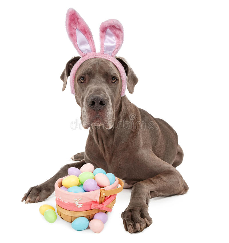 Great Dane Easter Bunny. A blue Great Dane dog wearing bunny ears with an Easter basket full of colored eggs. Isolated on white royalty free stock photos