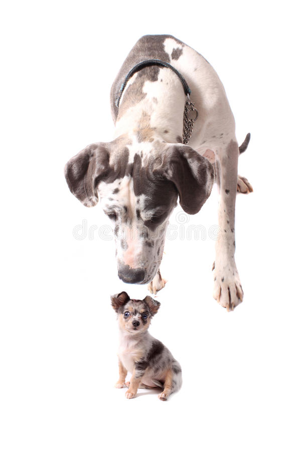Great dane et chiwawa photo libre de droits