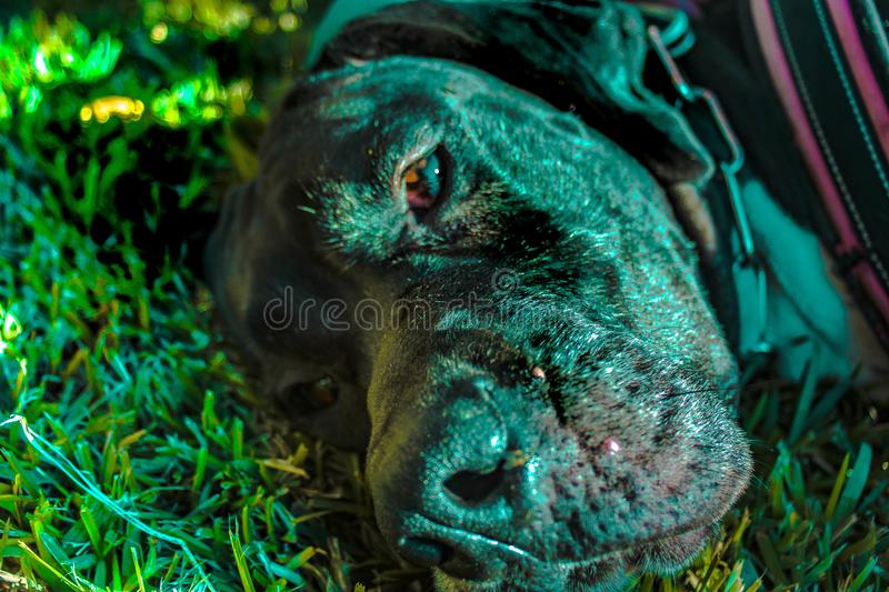 The great dane stock images