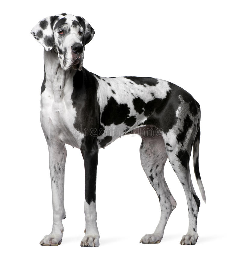 Great Dane Harlequin, 4 years old, standing stock image
