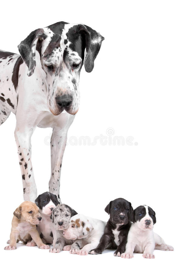 Free Great Dane Harlequin With Puppies Royalty Free Stock Photos - 14335958