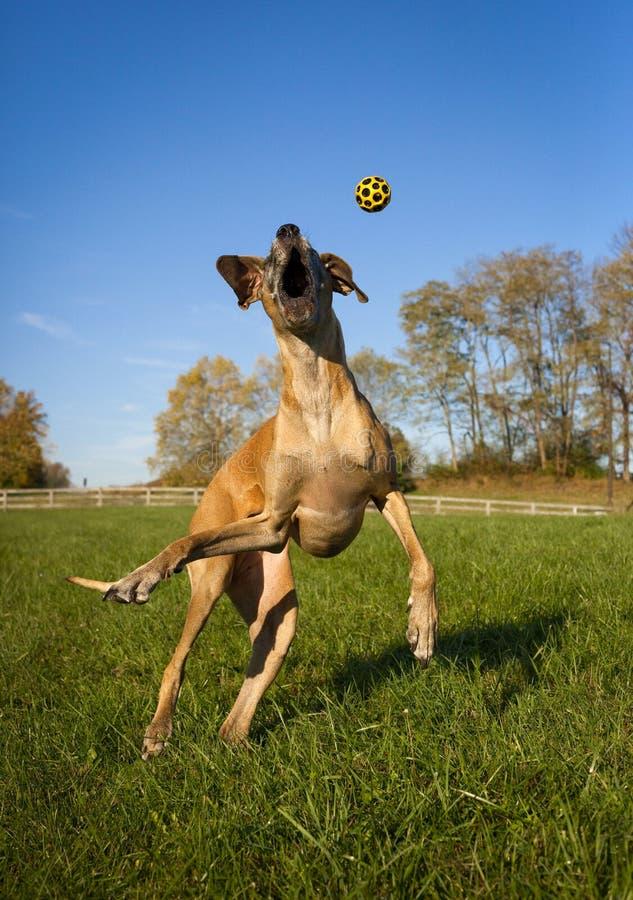 Great dane idiot essayant d'attraper la boule jaune, verticale photographie stock libre de droits