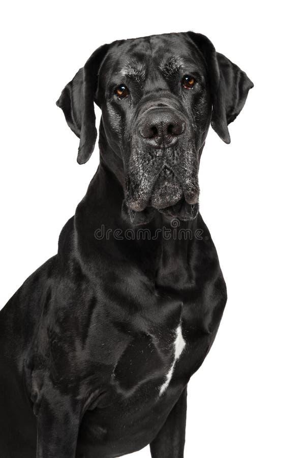 Great Dane isolated on white stock image