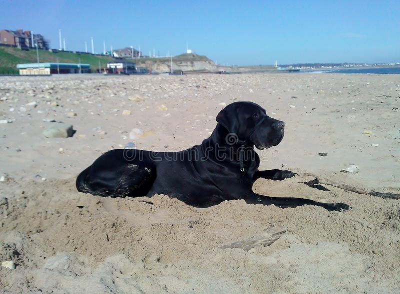 Great Dane Jet on the beech royalty free stock photography