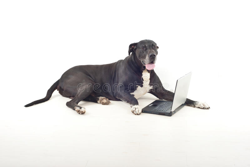 Download Great Dane  With Laptop Royalty Free Stock Images - Image: 17069539