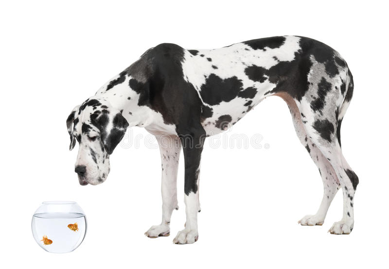 Great Dane looking at goldfish in fish bowl stock photo