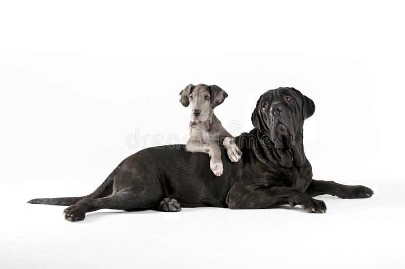 Great dane and mastiff portrait stock image