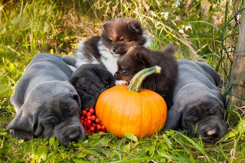 Great Dane psy i Pomorscy Spitz szczeniaki obok bani fotografia stock