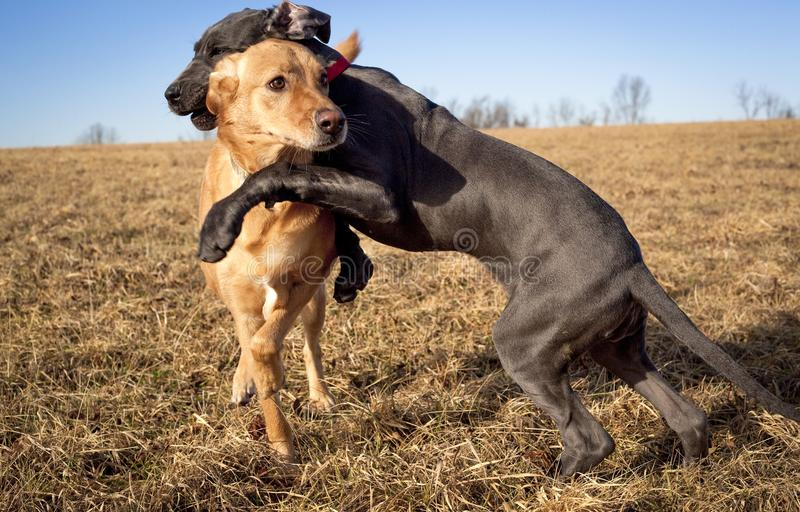 A great Dane pupppy play wrestling with another dog in a field. An adorable great Dane puppy play wrestling with another dog in a field with a blue sky stock photo