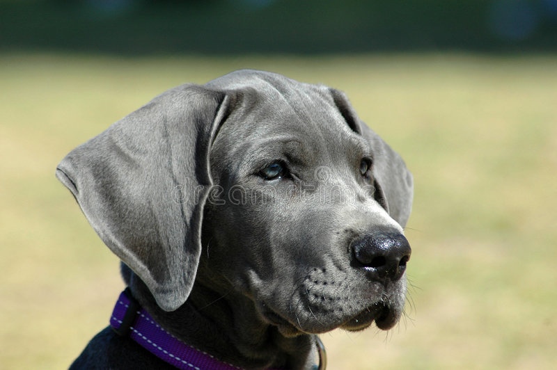 Great Dane puppy stock images