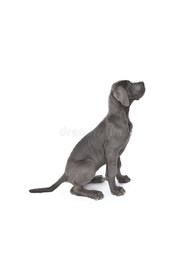 Download Great dane puppy stock image. Image of danish, studio - 23746275