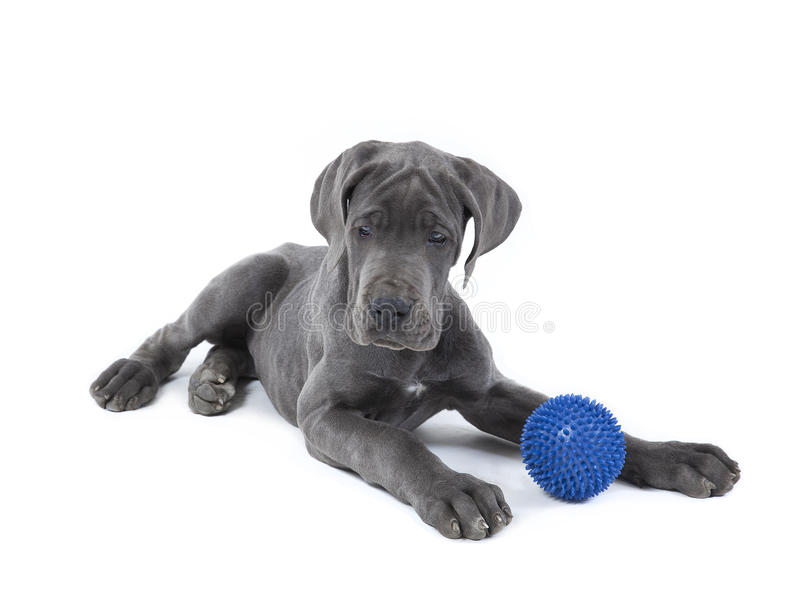 Download Great dane puppy stock image. Image of pedigree, domestic - 24588669