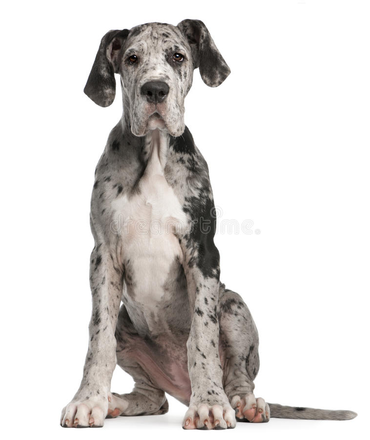 Great Dane puppy, 3 months old, sitting royalty free stock image