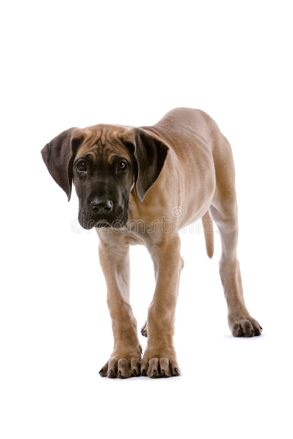 Great Dane puppy. A beautiful standing Great Dane pup staring with alert facial expression. Image isolated on white background royalty free stock images