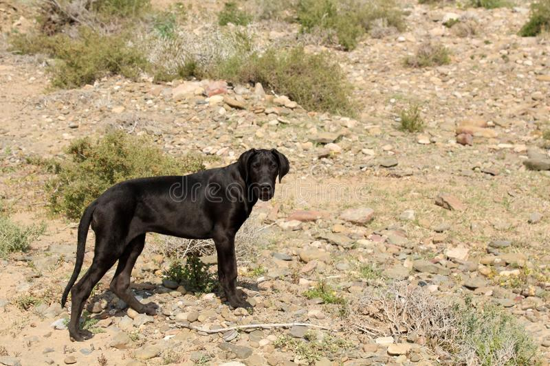 Great Dane Puppy. A cute adorable black great dane puppy on a rocky dirt background on a farm in the Karoo, South Africa royalty free stock images